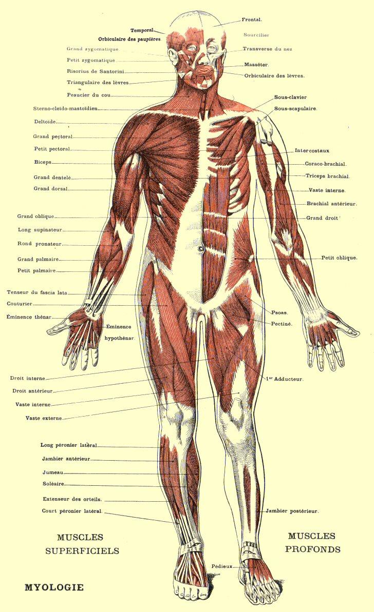Les muscles for A l interieur du corps humain