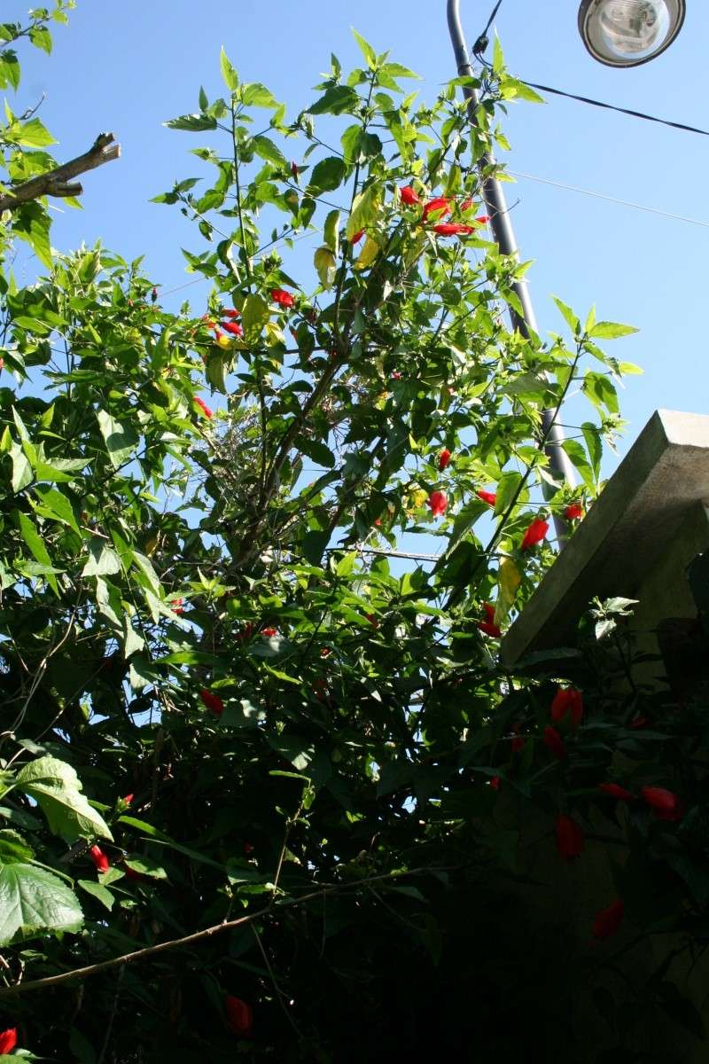 Tous les hibicus for Tous les plantes
