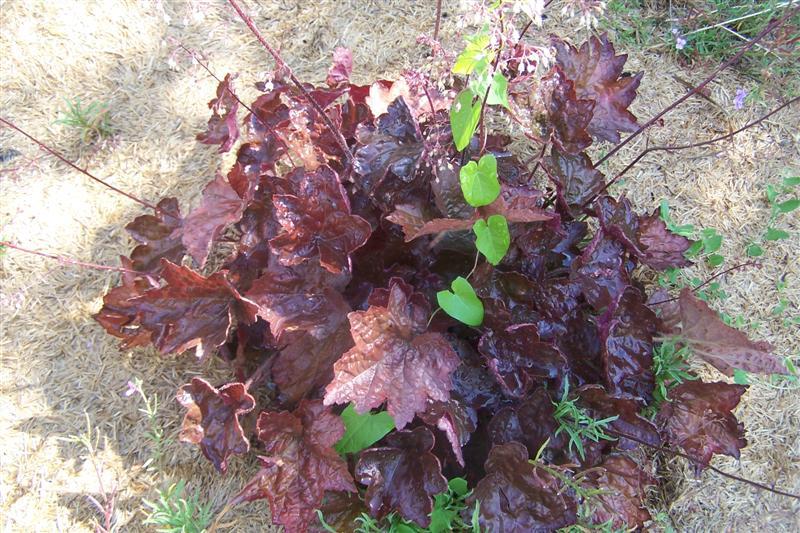 Plantes feuilles rouges - Plante a feuilles rouges ...