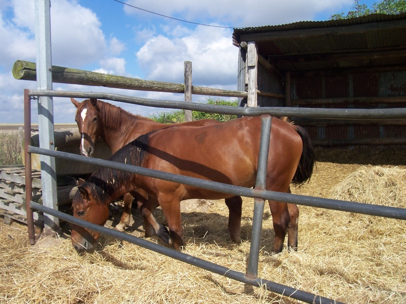 cheval de trait a sauver de l'abattoir