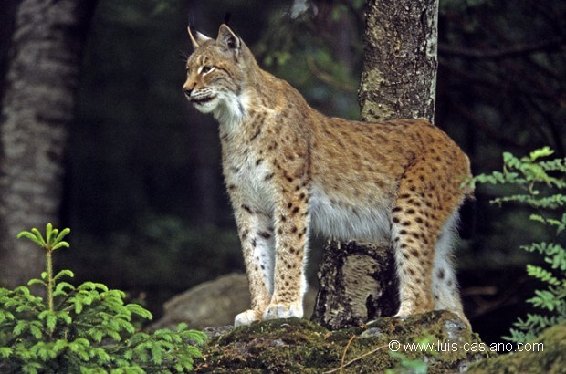 A study on the lynx an agile beast