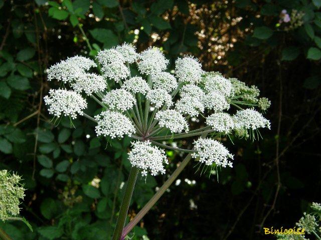 Grande berce. dans Fleurs et plantes p8090915