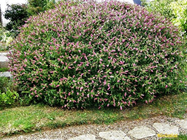 Véronique ou hébé. dans Fleurs et plantes p8151010