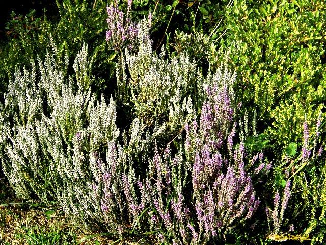 Fleurs d'automne. dans Fleurs et plantes p8151013