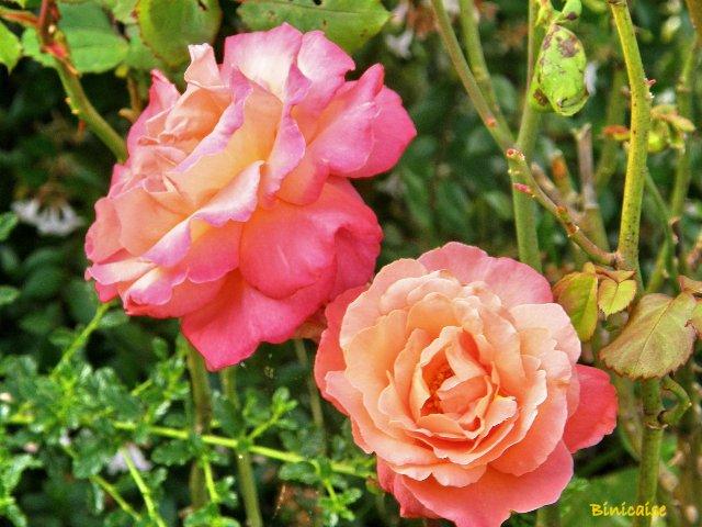 Roses de fin d'été. dans Fleurs et plantes p8151016