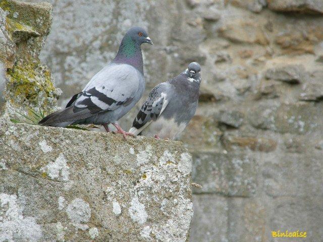 Deux pigeons ..... dans Animaux p8191010