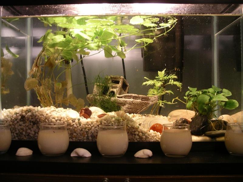 comment planter hydrocotyle leucocephala