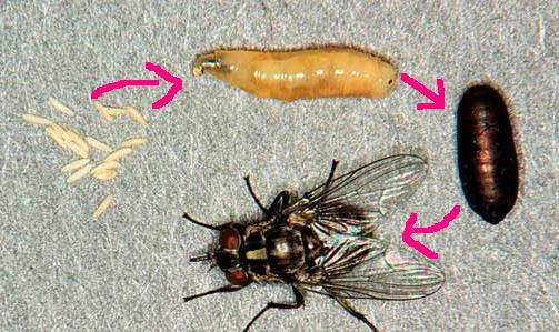 La mouche - Invasion de mouches vertes ...