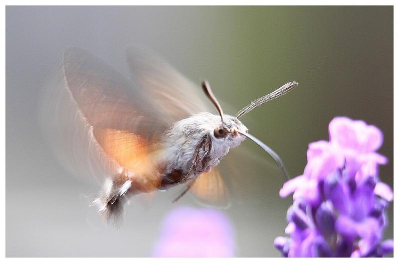 Le papillon colibri ou moro sphinx - Le nom de famille le plus porte au monde ...
