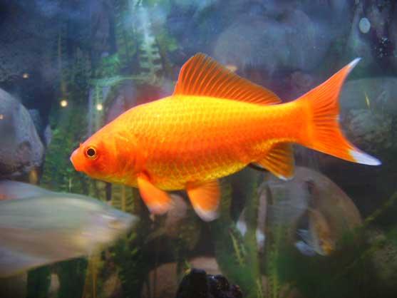 Hugo le poisson rouge for Nourriture poisson rouge super u