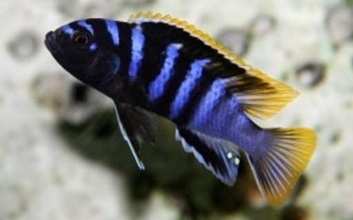 Картинки по запросу labidochromis mbamba