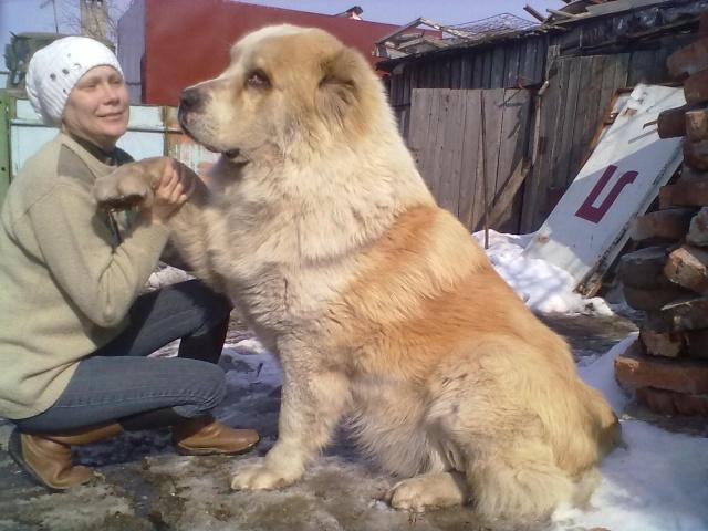Самый большой алабай в мире - Uznayvse ru