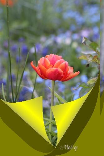 tulipe13.jpg