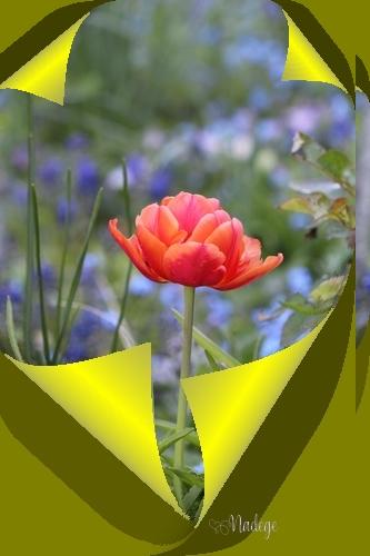 tulipe14.jpg